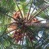 кокосы...