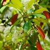 Prunus serotina або чорна вишня (але це не точно)